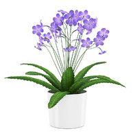 of streptocarpus white pot