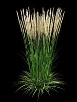 3d model calamagrostis acutiflora grass