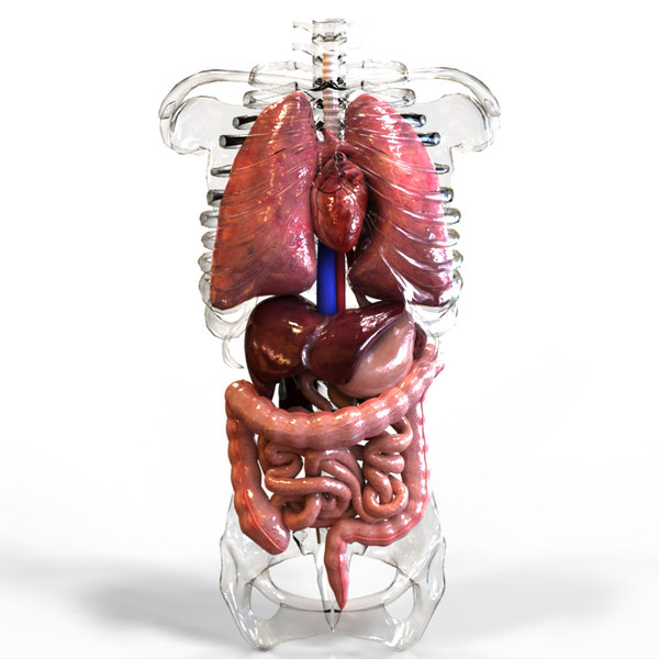 3d human internal organs intestines model - Internal Organs... by digitallab3d