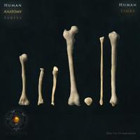 human limb bones fbx