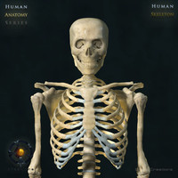 3d human skeleton bone rigged
