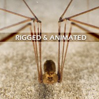 3d spider pholcus phalangioides rigged model