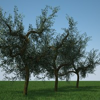 olive trees 3d model