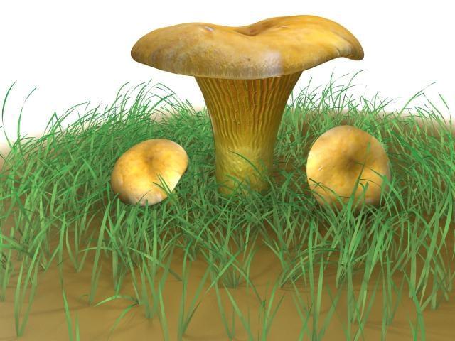 Cantharellus_cibarius_mushroom_render_05.jpg
