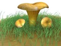 Cantharellus Cibarius Mushroom