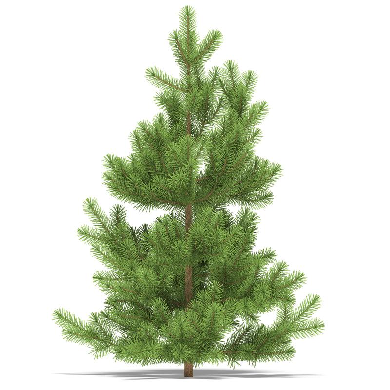 Pine 1 metre 01.jpg