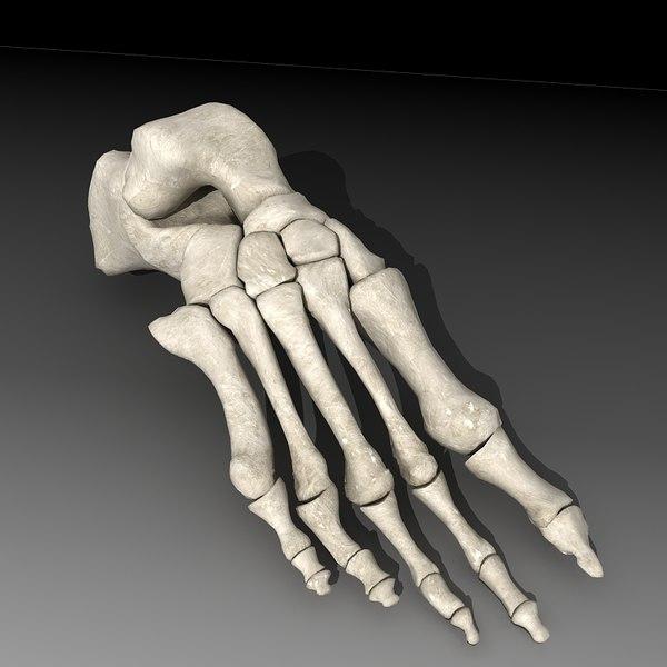 Human skeleton foot - photo#9