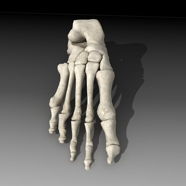 Human skeleton foot - photo#3