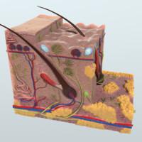 3d model human skin anatomy