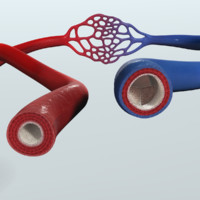 3d model human blood vessels anatomy