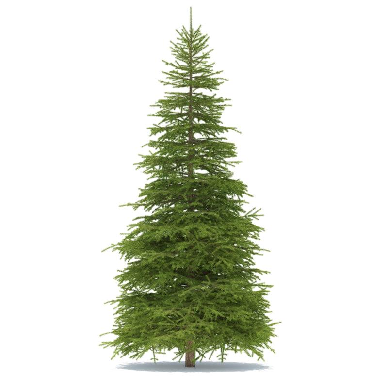 Spruce 9 metre 01.jpg