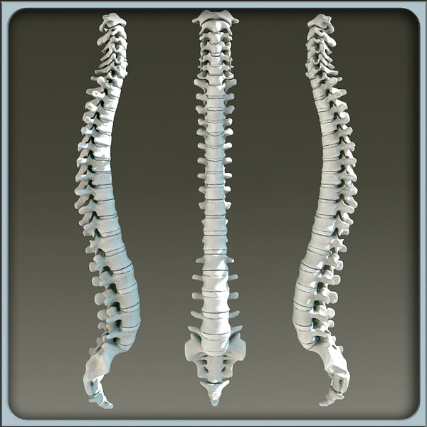 real human skeleton spine, Skeleton