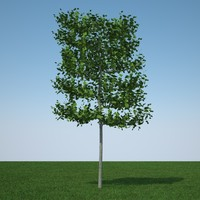 common lime tree obj