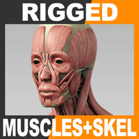 Rigged Human Muscular System and Skeleton