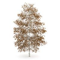 maya tree birch