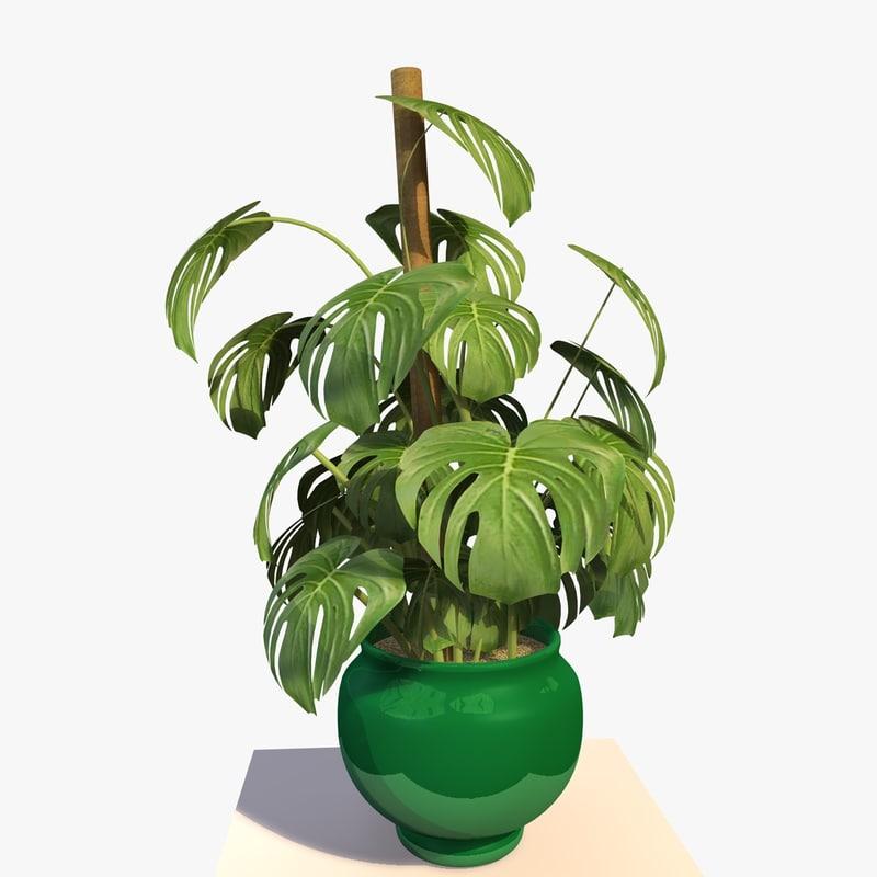 CHEESE PLANT 1.jpg