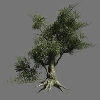 Olive Tree 9