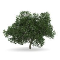 s max oak