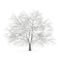 american beech winter obj