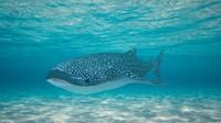 3d whale shark model
