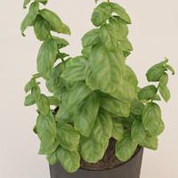 3d model photorealistic basil plant realistic