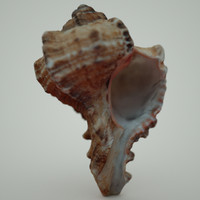 murex sea shell 3d obj