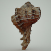 3d murex sea shell