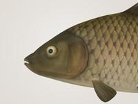 3d cyprinus carpio