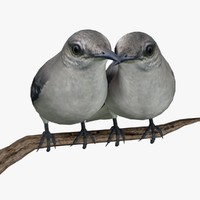 northern mockingbirds birds ab 3d model