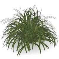 Ophiopogon jaburan (Lilyturf)
