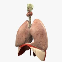 lungs diaphram anatomy 3ds