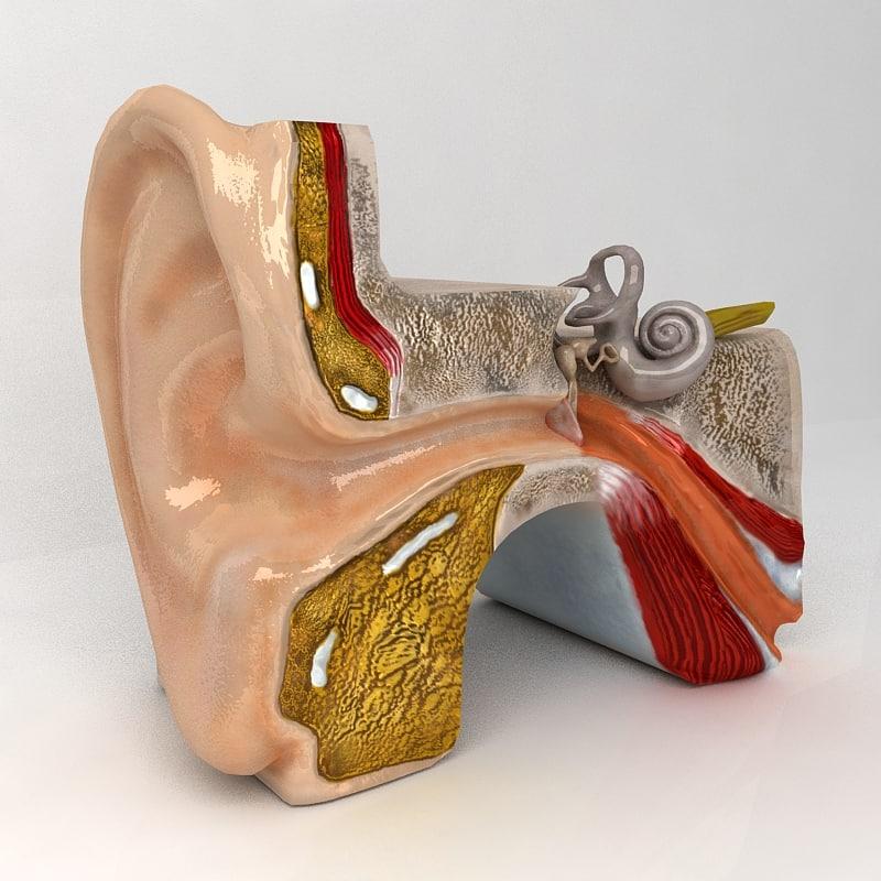 Ear_anatomy_render_01.jpg