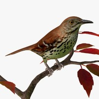 AB Brown Thrasher