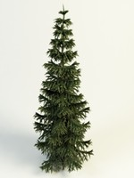 conifer tree max