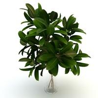 maya pipal plant