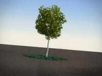 maya acacia dealbata tree
