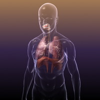 Respiratory System with Lungs in a Human Body for Medical Visualisation or Render