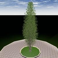 c4d lombardy poplar tree