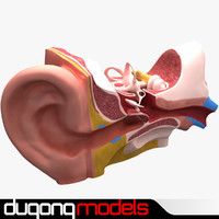 3d model dugm01 ear anatomy