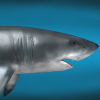 3d c4d great white shark