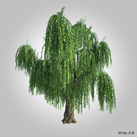 3d model realistic willow tree