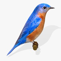 eastern bluebird birds ab obj