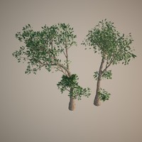 16 bonsai olive trees