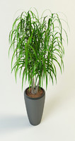 maya dracaena palm