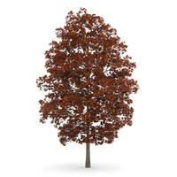 autumn acer platanoides