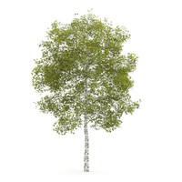Birch-Tree 4.5m