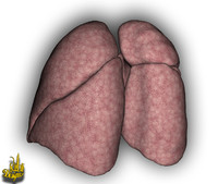 3d model lungs