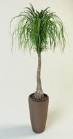 beaucarnea ponytail palm 3d model