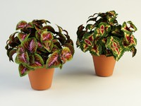 3d model coleus solenostemon