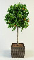 orange tree citrus